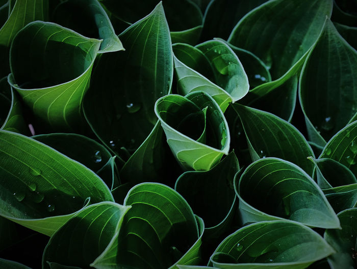 Beauty In Nature Close-up Contrast Freshness Green Color Hosta Leaf Natue Spring
