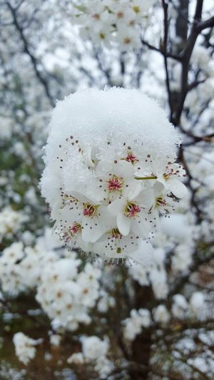 Nature Tree Snowy Snowscape Beauty In Nature Snow Winter Frozen Flower Snowing Madness Returns Madnesssss Seasonal Madness