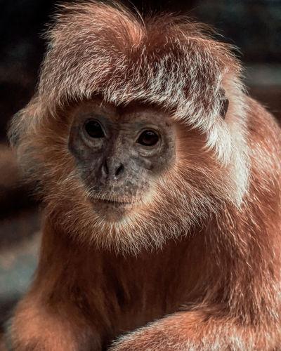Close-up portrait of golden retriever in zoo