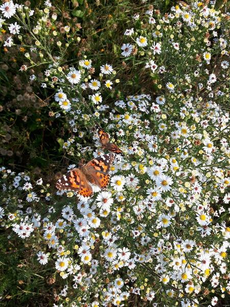 Pet Portraits Flower Nature Beauty In Nature Papillion, Dog, Cute, Precious, Furry