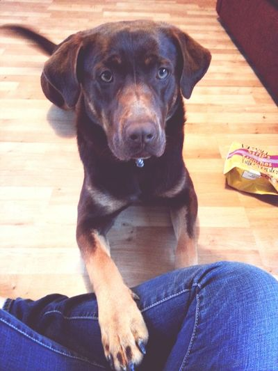 loove him to death♥ Rottweiler Rottweiler Mix Rottweiler Mix Chocolat Lab