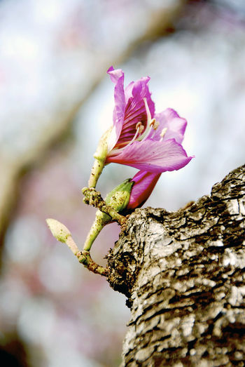 Beauty In Nature Close-up Day Flower Flower Head Focus On Foreground Fragility Freshness Growth Nature No People Outdoors Petal Selective Focus Tree Tree Trunk Bauhinia 紫荊 洋紫荊 羊蹄甲 Blakeana