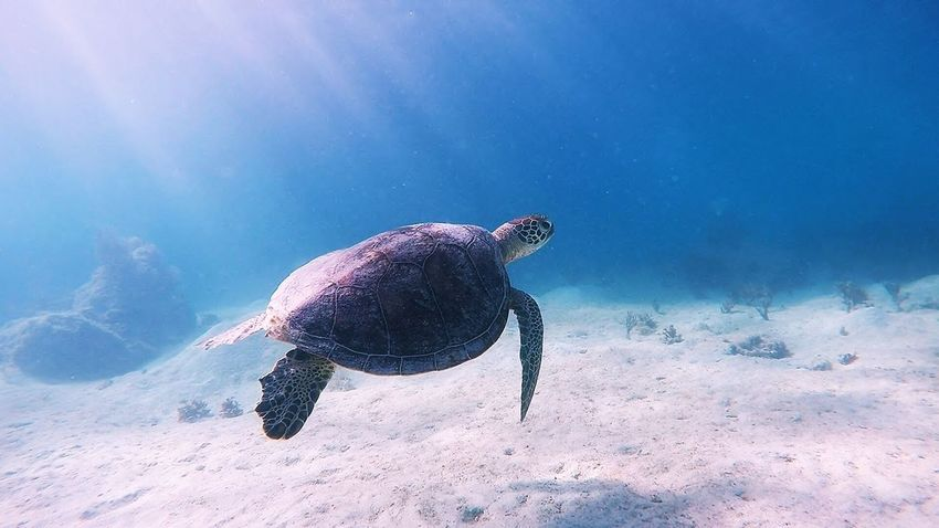 One Animal Sea Life Animals In The Wild Underwater Animal Themes Animal Wildlife UnderSea Sea Turtle Turtle Nature Swimming Sea No People Day Beauty In Nature Water Outdoors Reptile Close-up Tortoise Shell