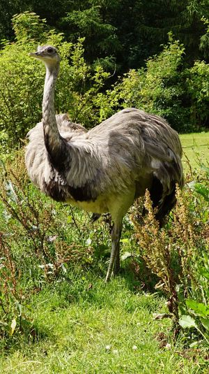 Animal Themes Nature No People Ostrich Animal Wildlife Standing Full Length EyeEm Nature Lover EyeEm Gallery Beauty In Nature Grass Outdoors Bird Animals In The Wild Tree Close-up Mammal Denmark 🇩🇰🇩🇰🇩🇰 Giveskud