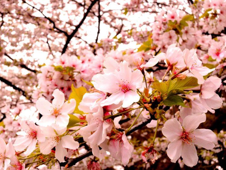 Taking Photos Relaxing Hi! Enjoying Life Hanging Out Hello World Sakura2016 Japanese Culture Things I Like EyeEm Eyeemphotography EyeEm Nature Lover Taking Photos Enjoying Life Spring Flowers Tokyo,Japan Japan