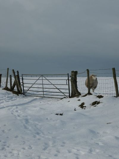 In white pastures EyeEm Selects Farmland Gate Sheep Snow Winter Cold Temperature Land Beauty In Nature Tranquility Scenics - Nature Nature Tranquil Scene Non-urban Scene Sky No People Environment Wood - Material Day Landscape Sea Water Boundary Outdoors