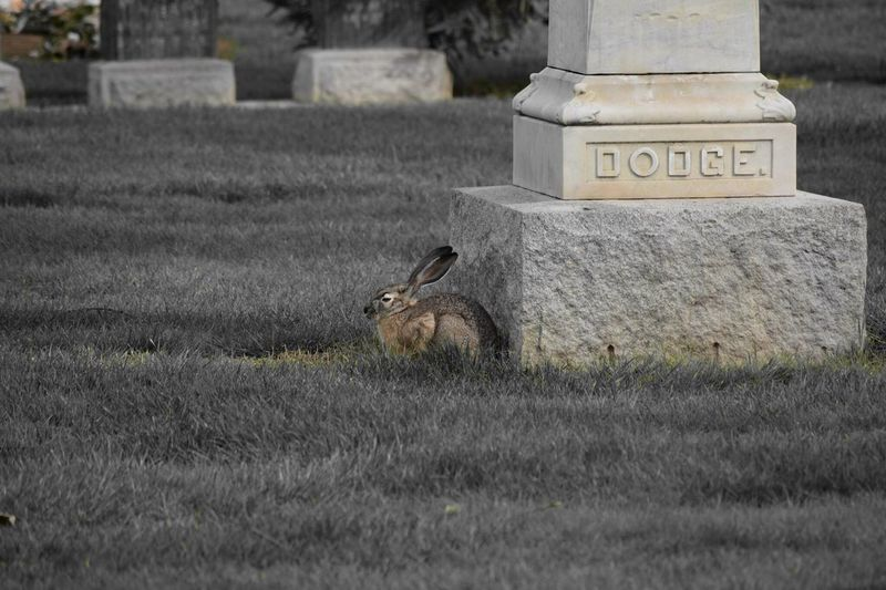 Rabbit by tombstone at cemetery