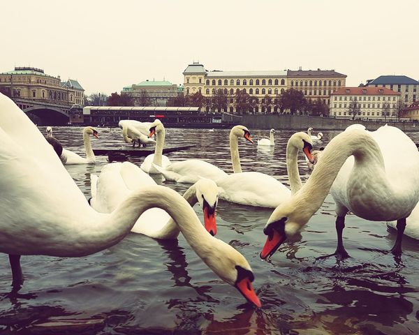 Bird Animals In The Wild Animal Wildlife Water Animal Themes Water Bird Swan Outdoors No People Large Group Of Animals Flock Of Birds Swantastic Charles Bridge Pragueoldtown Reflection Nature Photography Extreme Weather Eyeem Market Prague Tower Prague Czech Republic Prague Nature's Diversities Animals In The Wild