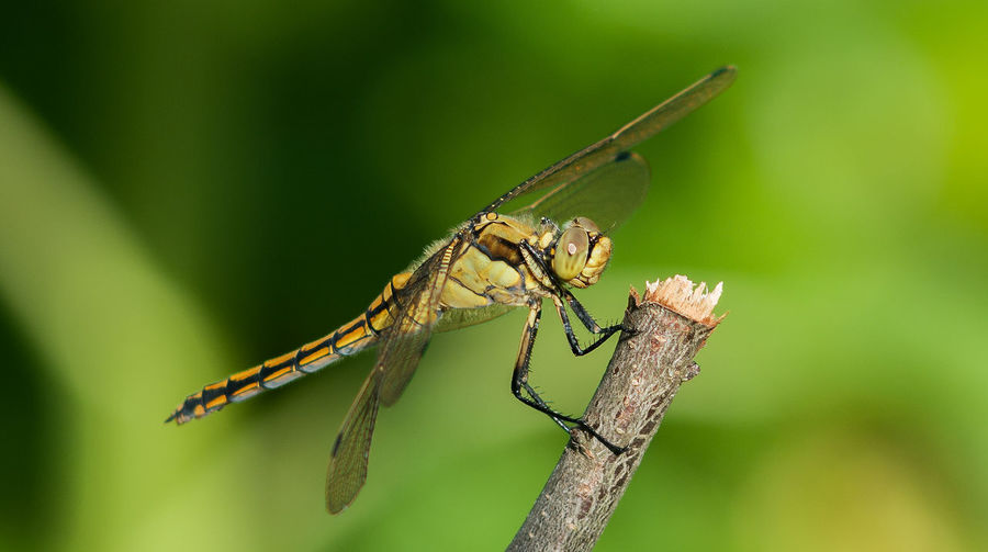 Dragonfly Animal Themes Animal Wildlife Animals In The Wild Close-up Day Focus On Foreground Green Color Insect Nature No People One Animal Outdoors First Eyeem Photo