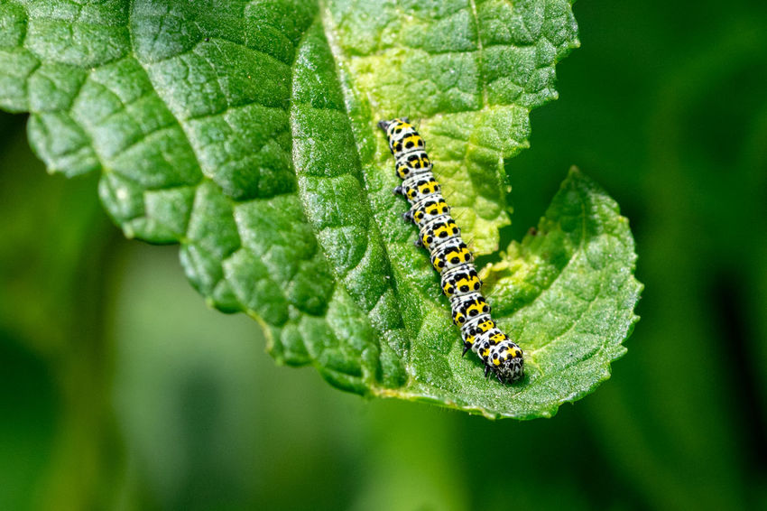 Mullein moth caterpillar Plant Part Leaf Close-up Green Color Animal Themes Insect Plant Animal Wildlife Animals In The Wild Caterpillar Invertebrate Nature Animal No People One Animal Day Growth Focus On Foreground Beauty In Nature Outdoors Mullein Moth Caterpillar Mullein Caterpillar Mullein Moth Caterpillars