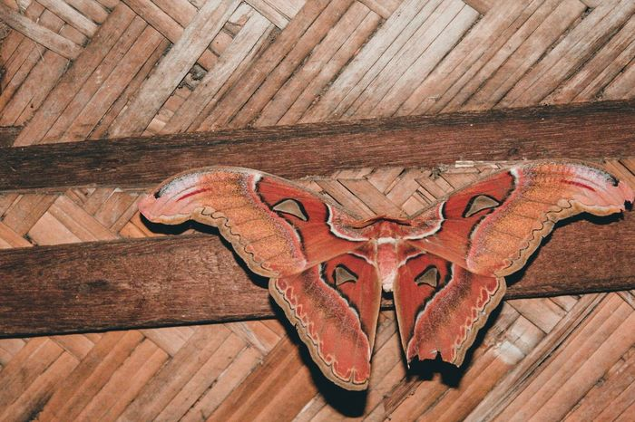 Mariposa Mariposa Atlas Moth Attacus Atlas Giant Butterfly Butterfly ❤ Butterfly Collection Butterfly - Insect Butterfly Wood - Material Animal Representation Indoors  Single Object Close-up Day