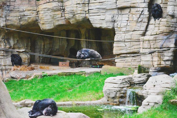 Animal Themes One Animal Day Pets Monkeys Shimpanzee Monkeys Zoo Zoo Animals  Hannoverzoo Sleeping Monkey шимпанзе обезьяны🙈🙉🙊 зоопарк тихий час Neighborhood Map