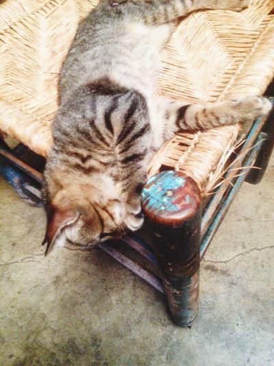 Pets One Animal Domestic Cat