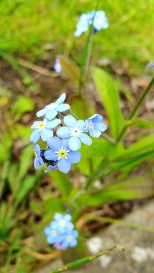 Flower Outdoors Beauty In Nature Flower Head Forget Me Nots Flower Collection Walking Around Garden Abergavenny Castle