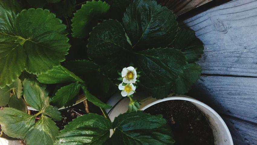 Strawberry Flower Plants Flowers Green Leaves Buckets