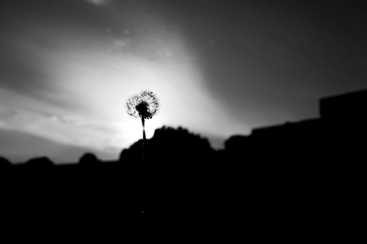 Close-up of silhouette dandelion against sky