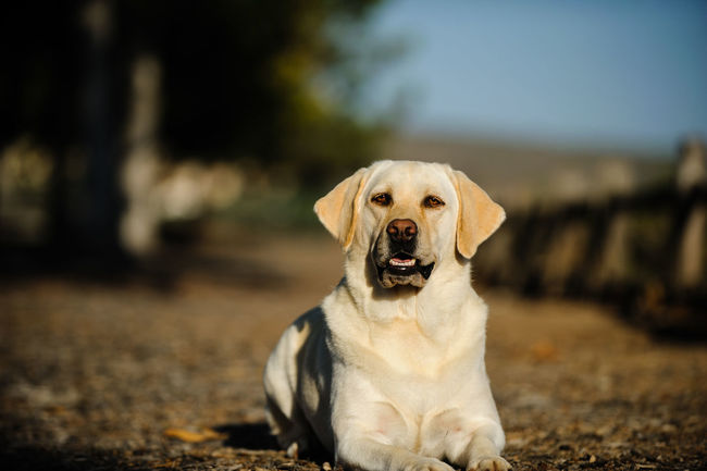 Yellow Labrador Retriever dog Dogs Labrador Yellow Flower Animal Themes Day Dog Domestic Animals Focus On Foreground Labrador Retriever Looking At Camera Lying Down Mammal Nature No People One Animal Outdoors Pets Portrait Yellow Lab Yellow Labrador