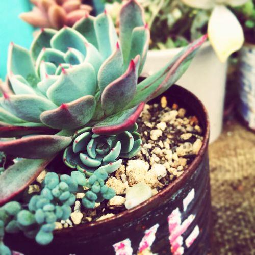 Succulents Echeveria 七福美尼