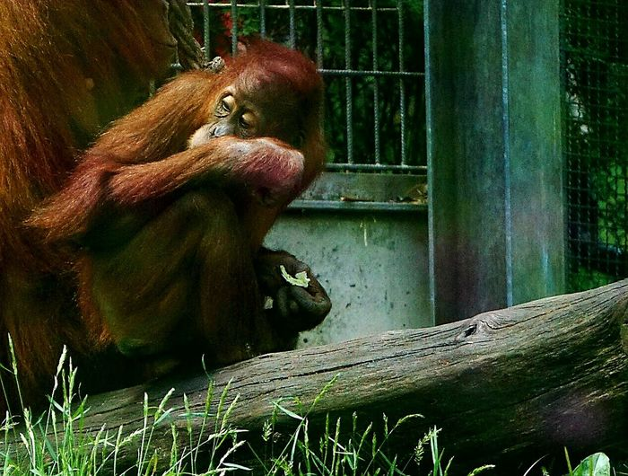 Zoobesuch Zoo Animals  Animal Body Part Monkey Animal Themes Outdoors Taking Photos Animal Face Animal Head  Orangutan Close-up EyeEm Diversity Eating Healthy Eating Time Nice Atmosphere Mammal Animal