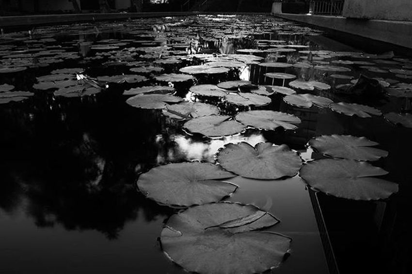 Reflections Pond Lilypads Lilypad Water Caltech Reflection Blur Blackandwhite Bnw Bnw_life Bnw_captures Bnw_society Bnw_photo Bnw_rose California Cali Pasadena  Travel College Nikon D3300
