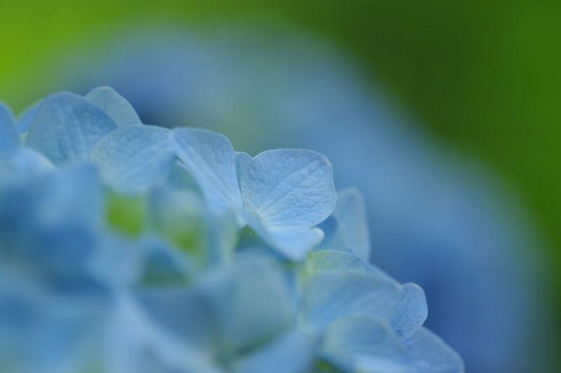 Close-up of hydrangea hydrangeas
