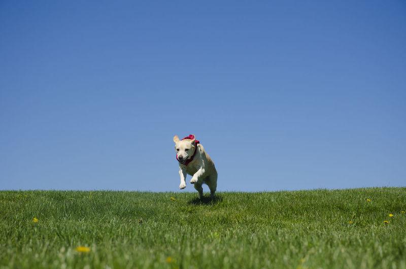 Labrador retriever running on grassy field