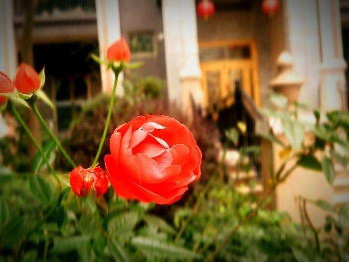 Rose Red Rose Rosé