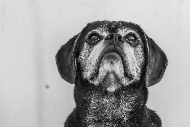Puggle Dog looking above Dog Portraits Medium-sized Dog Animal Themes Black And White Close-up Day Dog Dog Portrait Domestic Animals No People One Animal Pets Puggle