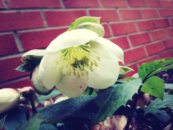 Hellebores Are Out