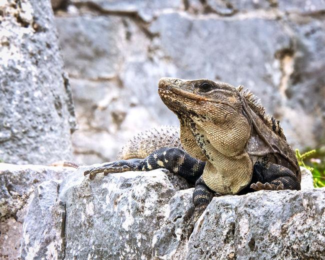 #iguana Animal Themes Animal Wildlife Animals In The Wild Close-up Day Iguana Lizard Nature No People One Animal Outdoors Reptile Rock - Object
