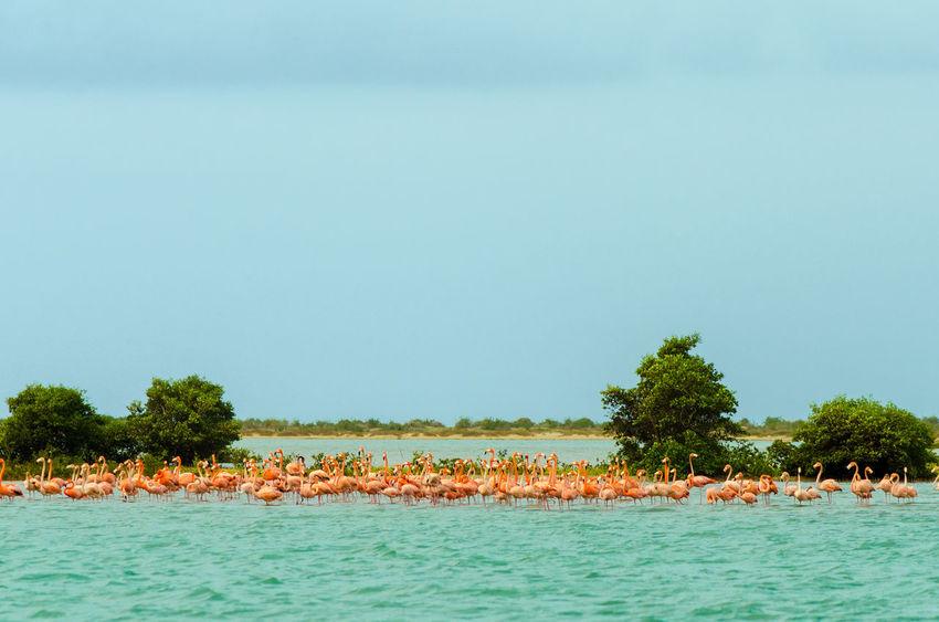 Large flock of flamingos in the Caribbean Sea in La Guajira, Colombia Beauty In Nature Bird Coast Colombia Color Exotic Fauna Flamingos Flying Idyllic La Guajira La Guajira Colombia Landscape Nature Outdoor Pink Punta Gallinas Scenics Sea Travel Tree Vacation Water Wild Wildlife