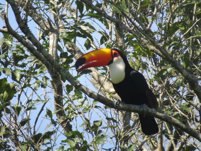 Animal Themes Animals In The Wild Argentina Avian Beauty In Nature Bird Branch Close-up Iguazu Iguazu Falls Iguazu National Park Nature At Its Best Nature Up Close One Animal Parrot Perching Toucan Wildlife