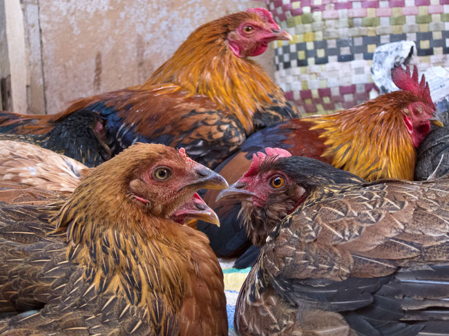 Animal Themes Birma Burma Chicken Chicken - Bird Hen Livestock Market Myanmar Pyin Oo Lwin Pyinoolwin