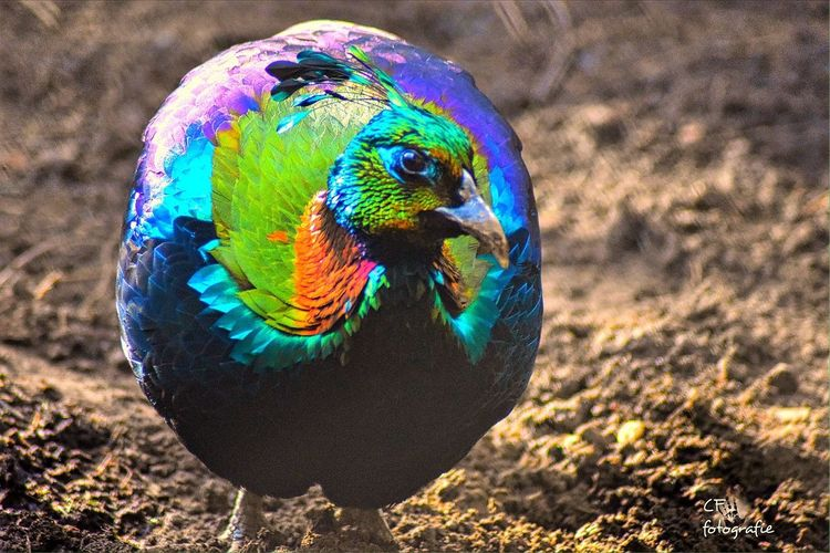 Animals In The Wild Bird Colorful Rainbow Shiny Natural Beauty Oilfeather Nature Outdoor Photography Feathers Glowing Gloom Going The Distance Capturing Freedom