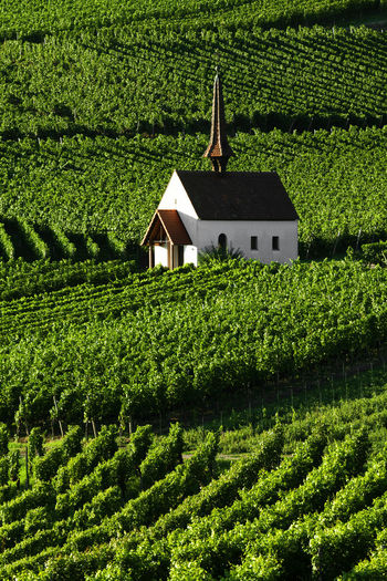 Chapel in the vineyards, Eichert Kapelle in the Kaiserstuhl Wine Area Green Agriculture Rural Scene Building Plantation Outdoors Nature Beauty In Nature No People Landscape Growth Plant Green Color Built Structure Architecture Kaiserstuhl Germany Jechtingen Winter Vineyard Christianity Church Chapel Eichert Kapelle