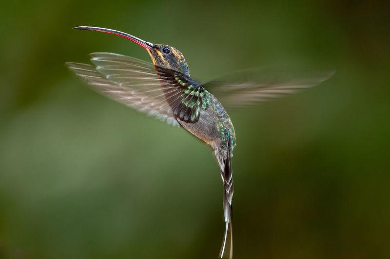 Green hermit - phaethornis guy hummingbird in flight