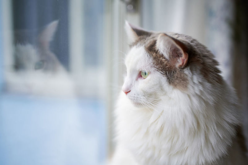 Close-up of a white cat looking out of window