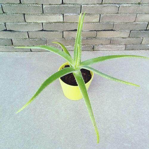 Aloe Vera II