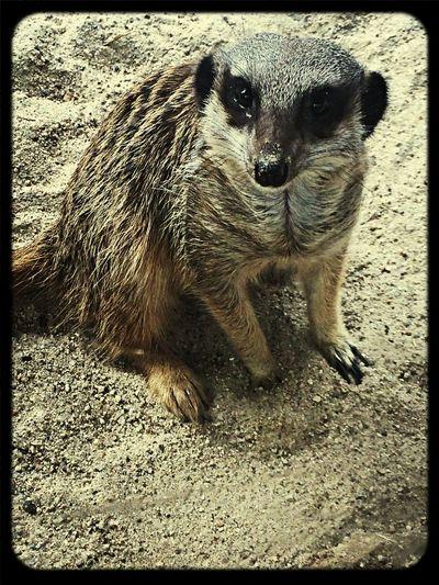 Meerkat In Your