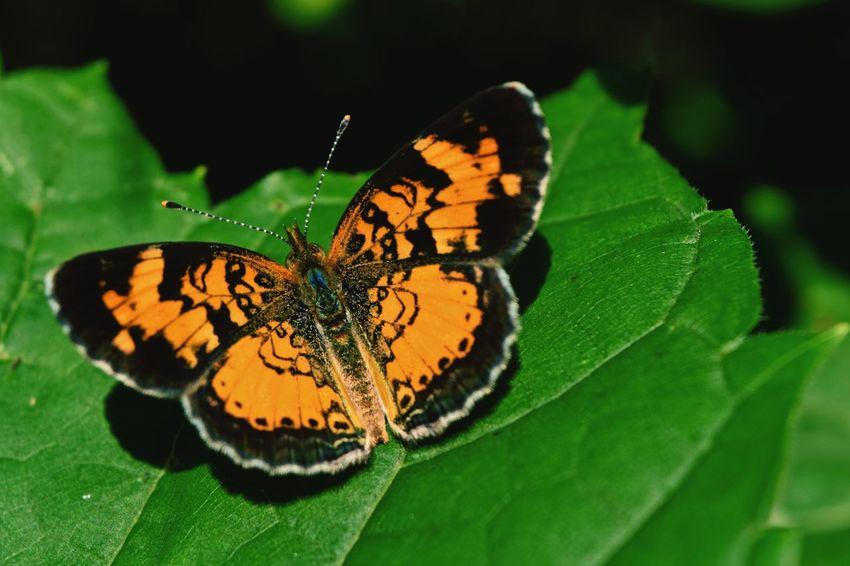 Butterfly Butterfly ❤ Butterfly Wings Butterflyporn Nature Nature Photography Nature_collection Nature Lover Wildlife Wildlife & Nature Wildlife Photography Nikon D3300