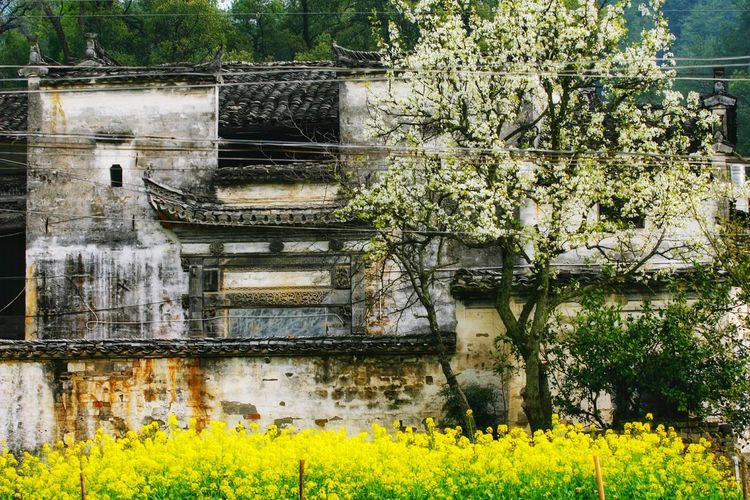 婺源春色 Flower Flower Blossom Yellow Flower Architecture China China Beauty Spring Springtime Jiangxi Jiangxi,china Wuyuan China Wuyuan