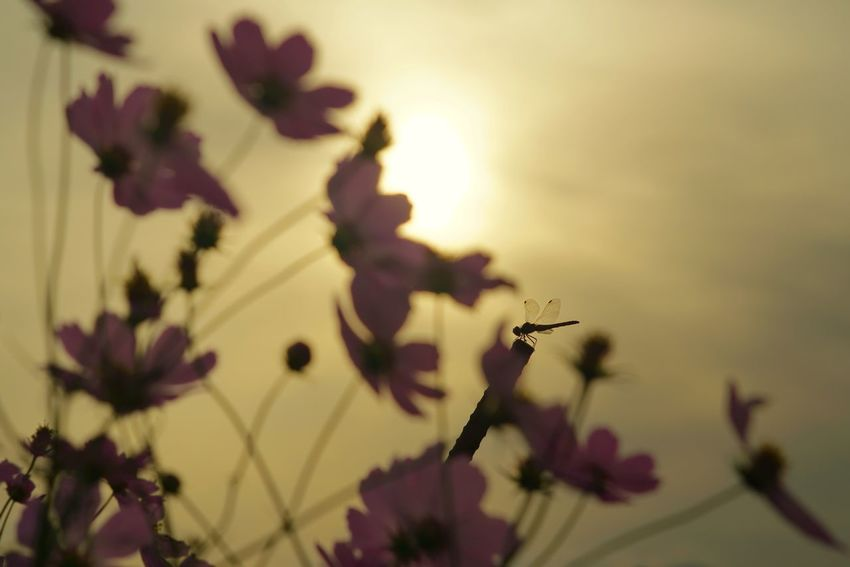 Capture The Moment Shine Bright Silhouette Cosmos Flower Depth Of Field Selective Focus Dragonfly Fragility Nature Defocused Beauty In Nature Sunrise_sunsets_aroundworld Light And Shadow Getting Inspired Fine Art Photography Uzuki Of The Flower Autumn Full Frame Detail Sony A7RII Oldlens Takumar EyeEm Best Shots 17_10 EyeEmNewHere Paint The Town Yellow