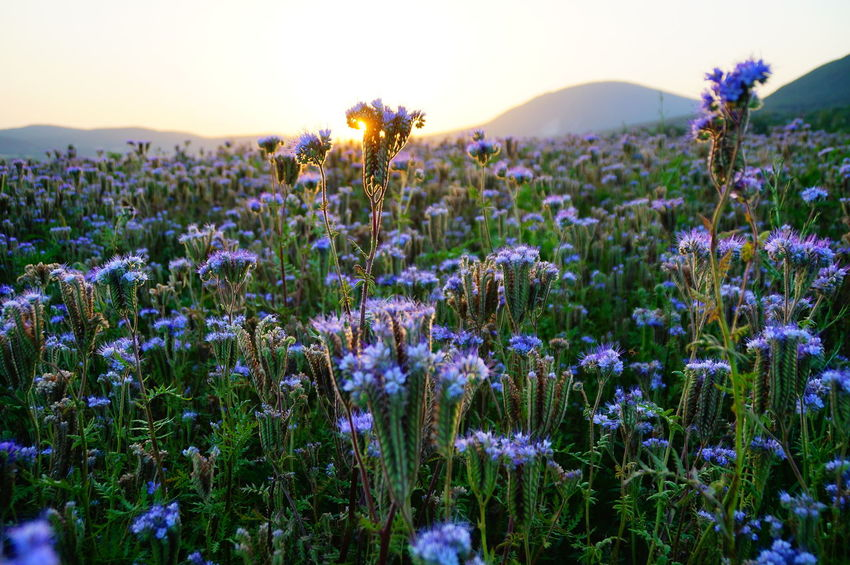 Phacelia fields and sunset, Mount Pilis Phacelia Agriculture Animal Themes Beauty In Nature Blooming Close-up Day Field Flower Flower Head Fragility Freshness Growth Nature No People Outdoors Petal Pilis Pilisszántó Plant Purple Rural Scene Scenics Sunset Tranquility