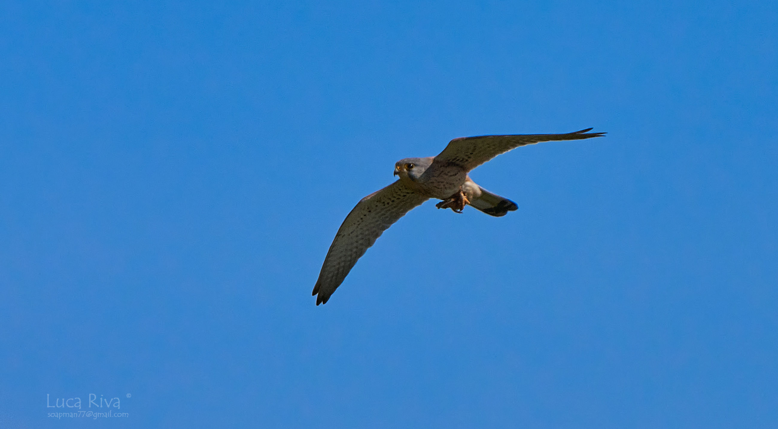 animal themes, animal, bird, animal wildlife, flying, wildlife, one animal, spread wings, blue, sky, clear sky, mid-air, bird of prey, animal body part, no people, nature, low angle view, wing, motion, copy space, falcon, day, outdoors, full length, sunny