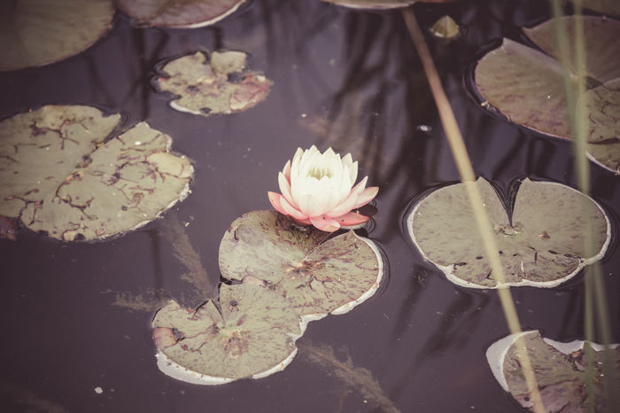 Aquatic Plant Beauty In Nature Flower Lily Pads Pond Pond Life Water Water Lily