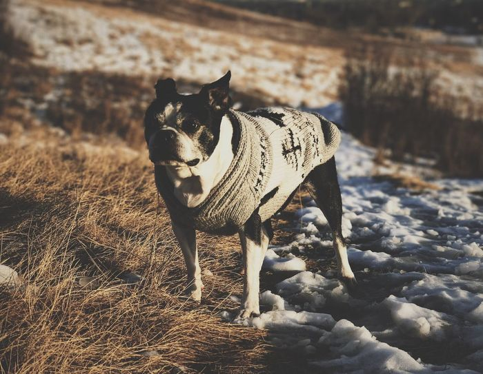 Pet Portraits Dogs Of EyeEm Winterwear Bostonterrier Boston Fashion Sweaterweather Adogslife