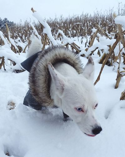 Sati in corn Whitedog Mixdog Mongrel Mutt Puppy Dogface Snow Cold Temperature Winter Animal One Animal Mammal Ice Animal Wildlife Frozen Nature Wilderness Outdoors Animals In The Wild Animal Themes Polar Climate Landscape No People Day Snowing Portrait