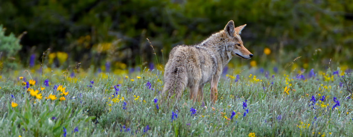A wild coyote hunting in a very colorful meadow with yellow and purple wildflowers. Yellowstone National Park Canis Latrans Wildlife Photography Yellowstone National Park Alertness Animal Themes Animal Wildlife Animals In The Wild Beauty In Nature Carnivorous Cyote Day Field Flower Fox Grass Growth Mammal Nature No People One Animal Outdoors Plant Wild Coyote