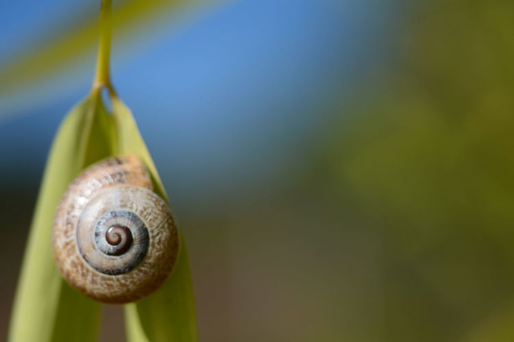 If you enjoy my content, please consider supporting what I do. Please buy me a latte. Thank you. http://ko-fi.com/whitelabel Animal Animal Body Part Animal Shell Animal Themes Animal Wildlife Animals In The Wild Blue Background Boredom Close-up Day Focus On Foreground Gastropod Invertebrate Mollusk Nature No People One Animal Plant Shell Snail Spiral