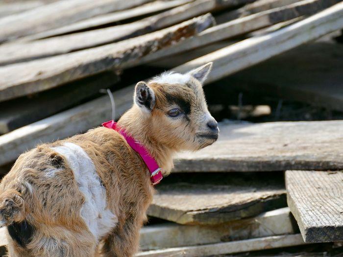 Baby Goat Goat